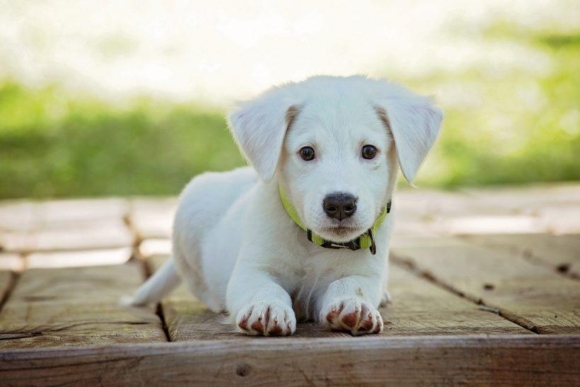 Puppycursus kosten